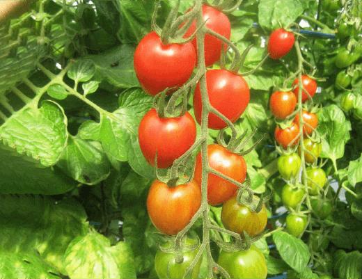 プラム型トマト