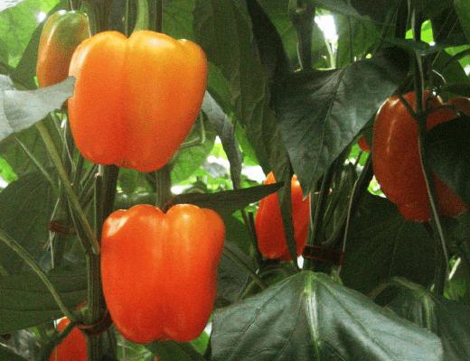 パプリカオレンジ色